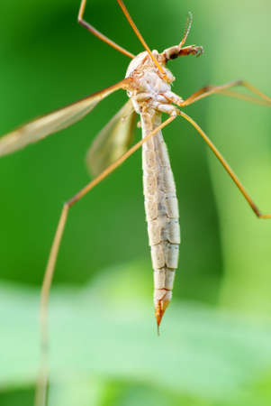 big mosquito sit on green  raspberry bush Stock Photo - 5536109