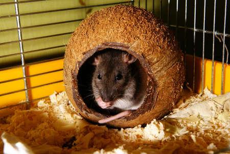 tame: rata domar sentarse en Coco en cabina Foto de archivo