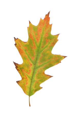oak leaf: big colored oak leaf  on white background