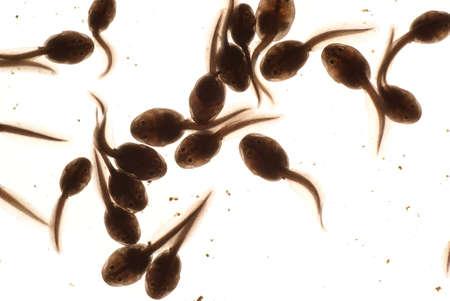 renacuajo: macro renacuajo en agua sobre fondo blanco  Foto de archivo