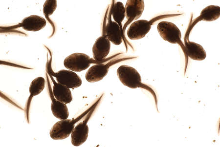 macro tadpole in water on white background