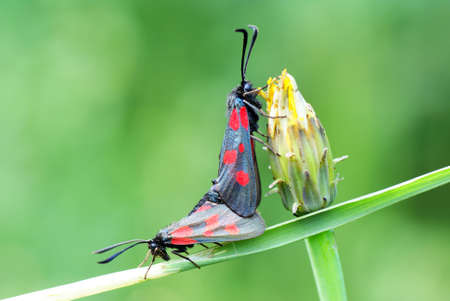 zygaena: two filipendula zygaena on grass on green background
