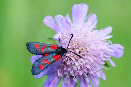 zygaena:  filipendula zygaena on flower on green background Stock Photo