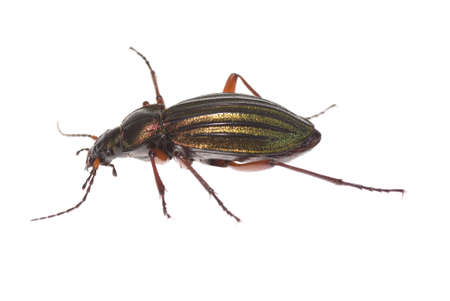 carabidae: large colorful  and living  beetle on white background