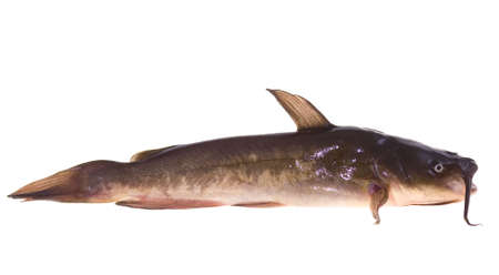 small lively catfish lies on white background
