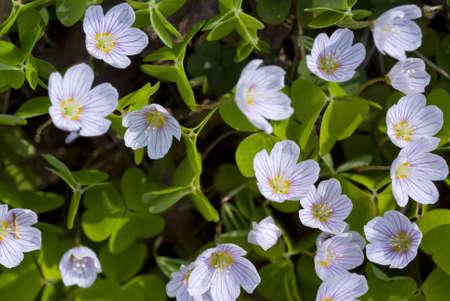 acetosella: peque�a flor crece en bosque sobre fondo Foto de archivo