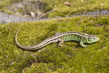 animal viviparous: green- brown lizard warm oneself on sun