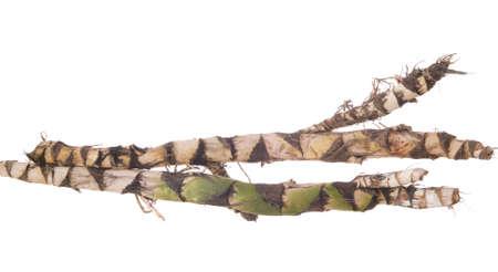 calamus: two fresh roots calamus on white background Stock Photo