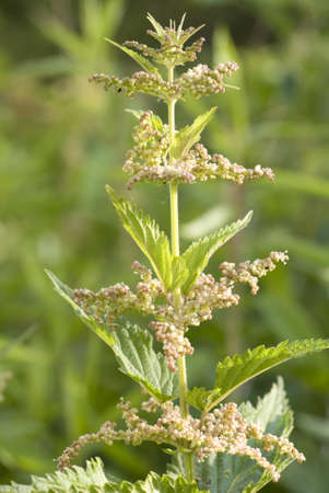 developed: developed new nettle flower as background