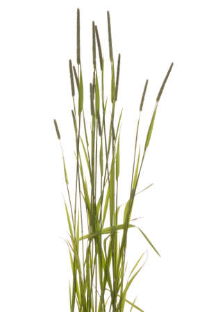 blooming young summer grass on white background Stock Photo