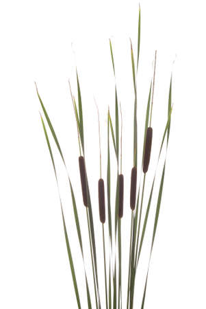 big brown cattails stands on white background photo