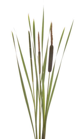 cattails: brown and green cattails stands on white background