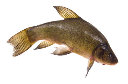 tinca tinca: small lively tench lies on white background