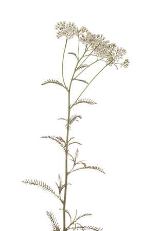 millefolium: white herb achillea millefolium on white background