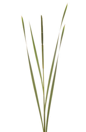cattails: green unripe cattails stands on white background