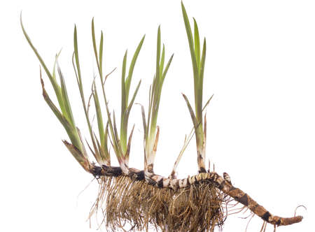 young plant calamus with root on white background
