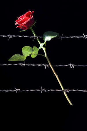 red rose and three rusty barbed wire photo