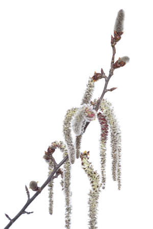 branch aspen with catkin on white background