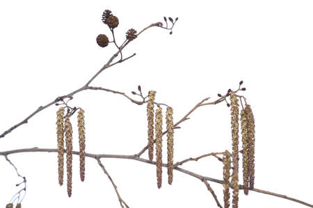 alder: branch alder with catkin and cone on white background Stock Photo