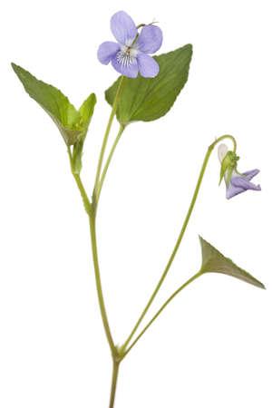 purple flower Viola odorata on white background Stock Photo