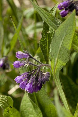 symphytum officinale: Consolida maggiore, Symphytum officinale, � una pianta medicinale Archivio Fotografico