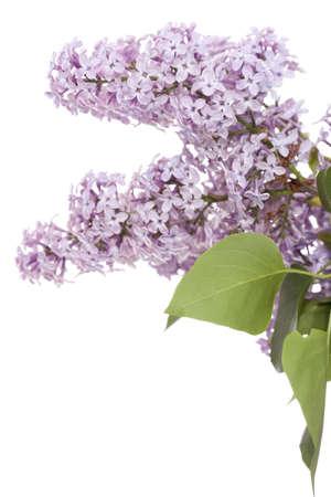 developed: desarrollado Lila flores violetas sobre fondo blanco Foto de archivo