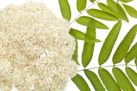 developed: hoja de Rowan con flor desarrollado sobre fondo blanco Foto de archivo