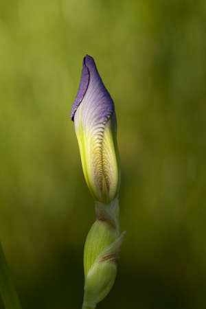 undeveloped: Bud of iris purple  in natural light