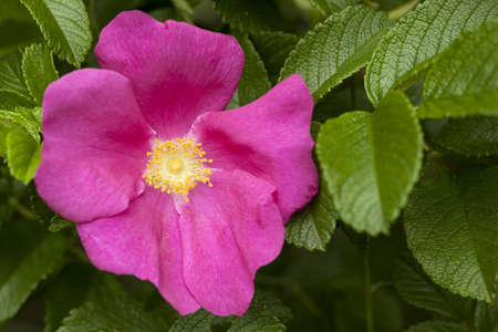 developed: pink developed  briar rose with green leaf