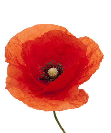red single poppy with stem on white background