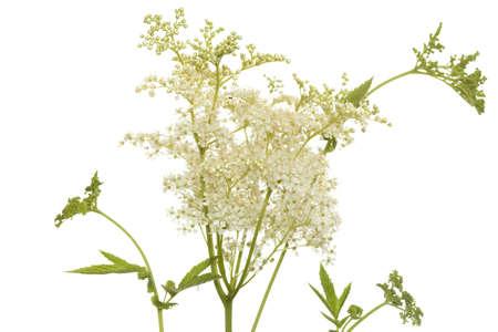 inflorescence: white inflorescence filipendula ulmaria on white background