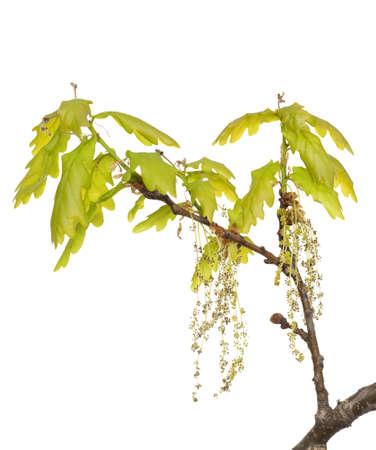 young leaf: rama de roble con hoja joven y amento