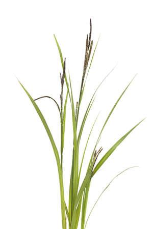 little tuft grass sedge on white background