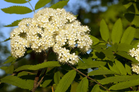 developed: hoja de Rowan con flor desarrollado
