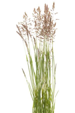 tuft: tuft grass Poa pratensis on white background