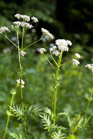 valerian plant: flower and leaf valerian on background greenery