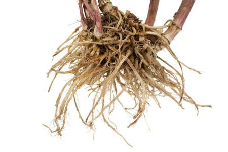 valerian: tutta la valeriana radice fresca su sfondo bianco