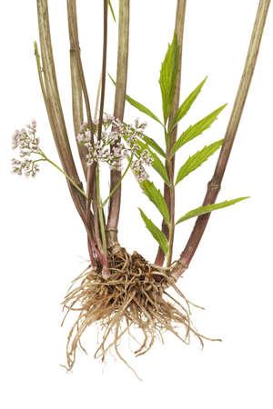 valerian: valerian root, foglie e fiori su sfondo bianco Archivio Fotografico