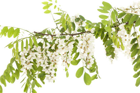 branch acacia with leaves and flowers on white photo