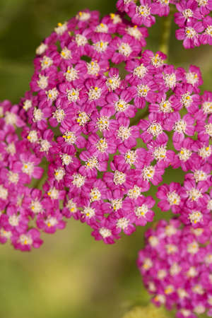 pink inflorescence herb(Achillea millefolium)as background Stock Photo - 10060678