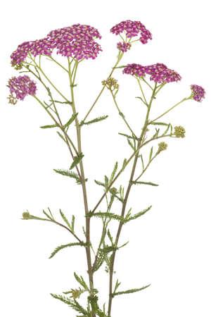 pink inflorescence herb(Achillea millefolium)on white background photo