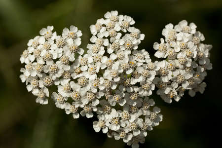 white inflorescence herb(Achillea millefolium)as background Stock Photo - 10060676