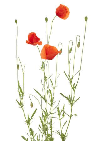 red poppy and poppy-head on white background Stock Photo