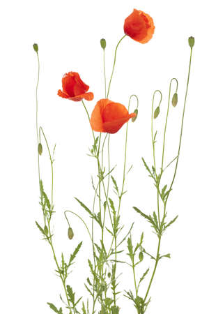 red poppy and poppy-head on white background Stock Photo