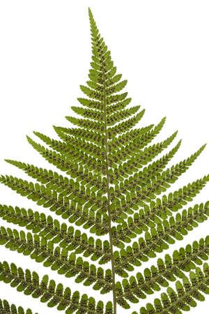 polypodiopsida: sporangium on leaf fern on white background