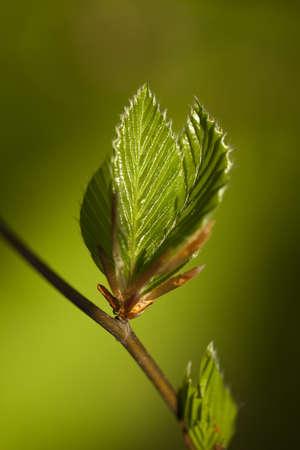 hornbeam: new, fresh twig  (carpinus betulus) as background