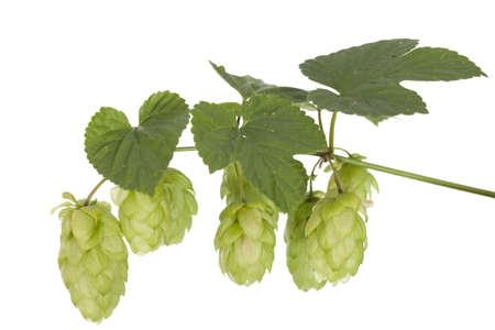 fresh hops cones with green leaf on stem photo