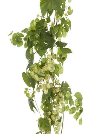 humulus: fresh hops cones on stem on white background Stock Photo