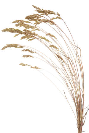 fescue: dry Brome grass( Bromus secalinus)on white background