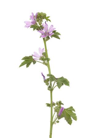 single wild mallow flower on white background Stock Photo